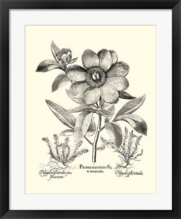 Framed Black and White Besler Peony I Print