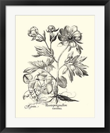 Framed Black and White Besler Peony III Print