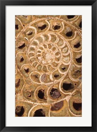 Framed Ammonite I Print