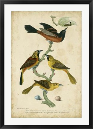 Framed Wilson's Orchard Oriole Print
