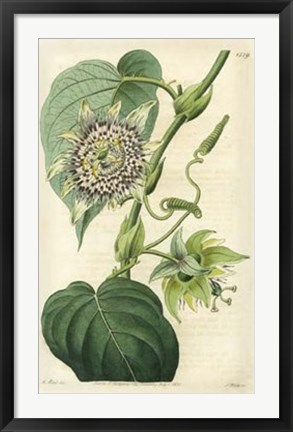 Framed Antique Passionflower I Print