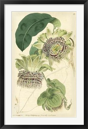 Framed Antique Passionflower II Print