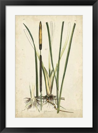 Framed Antique Cattail II Print