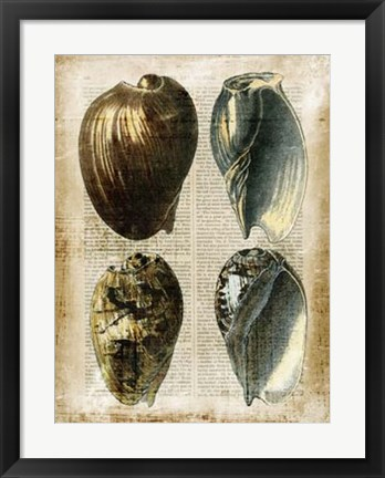 Framed Antiquarian Seashells III Print