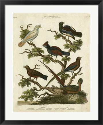 Framed Ornithology II Print