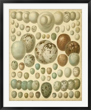 Framed Vintage Bird Eggs I Print