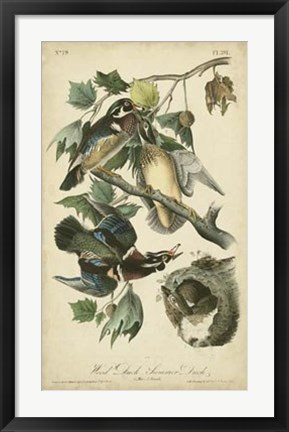 Framed Audubon Wood Duck Print