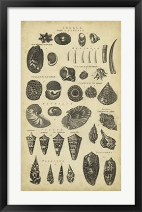 Framed Study of Shells II Print