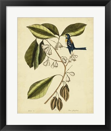 Framed Finch Creeper, Pl. T64 Print
