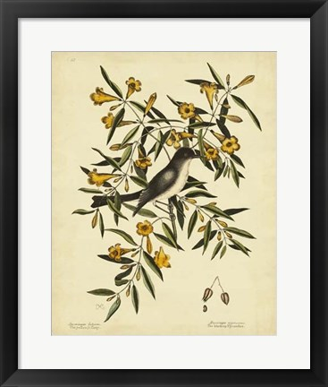 Framed Cates. Black-capt Flycatch. Pl. T53 Print