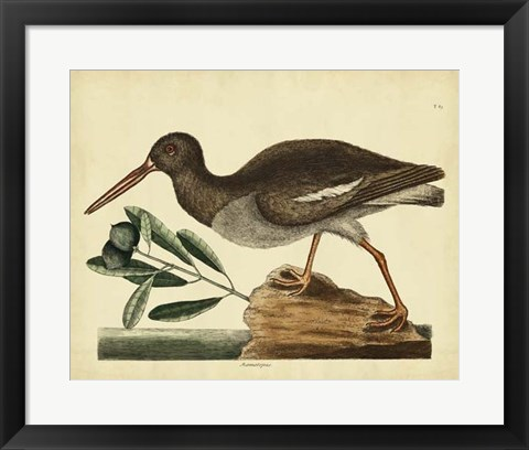 Framed Oyster Catcher, Pl. T85 Print