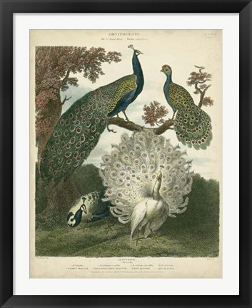 Framed Peacock Gathering Print