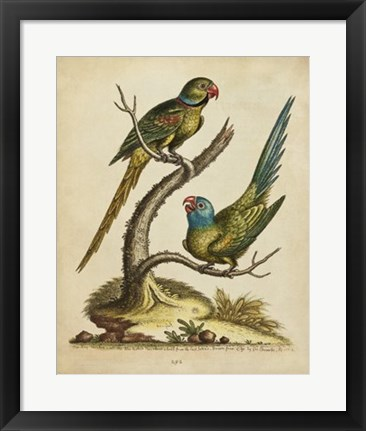 Framed Edwards Parrots V Print