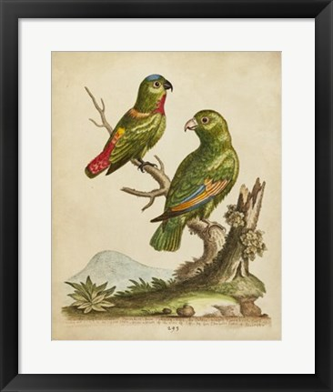 Framed Edwards Parrots VI Print