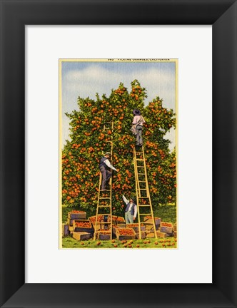 Framed Picking Oranges in California, Vintage Post Card Print