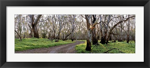 Framed Redgum Forest Print