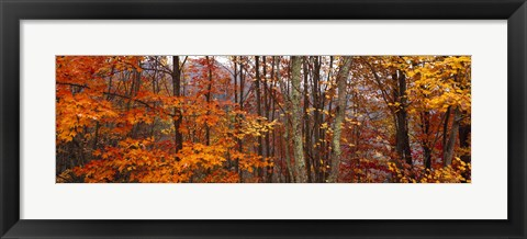 Framed Autumn trees in Great Smoky Mountains National Park, North Carolina, USA Print
