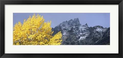 Framed Aspen tree with mountains in background, Mt Teewinot, Grand Teton National Park, Wyoming, USA Print