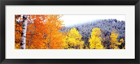 Framed Aspen trees in a forest, Blacktail Butte, Grand Teton National Park, Wyoming, USA Print