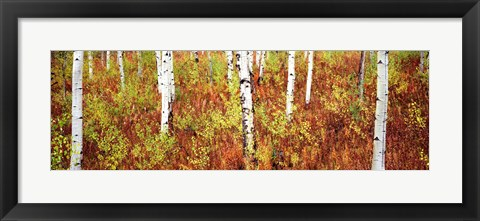 Framed Aspen trees in a forest, Shadow Mountain, Grand Teton National Park, Wyoming, USA Print