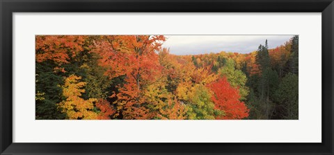 Framed Autumnal trees in a forest, Hiawatha National Forest, Upper Peninsula, Michigan, USA Print