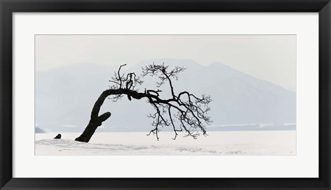 Framed Contorted tree at a frozen lake, Lake Kussharo, Hokkaido, Japan Print