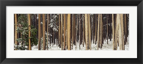 Framed Lodgepole Pines and Snow Grand Teton National Park WY Print