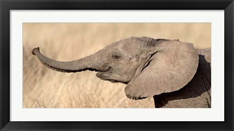 Framed Close-up of a African elephant calf at play Print