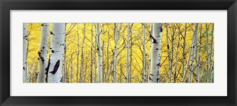 Framed Aspen trees in a forest Print