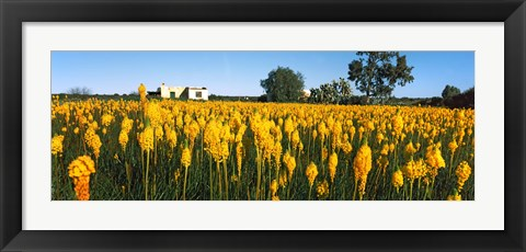 Framed Bulbinella nutans flowers in a field, Northern Cape Province, South Africa Print