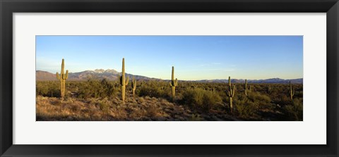 Framed Saguaro cacti in a desert, Four Peaks, Phoenix, Maricopa County, Arizona, USA Print
