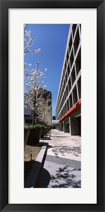 Framed Blooming tree in the business district, Downtown San Jose, San Jose, Santa Clara County, California, USA Print