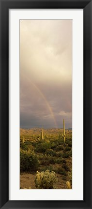 Framed Teddy-Bear Cholla and Saguaro cacti on a landscape, Sonoran Desert, Phoenix, Arizona, USA Print