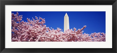 Framed Washington Monument and cherry blossoms, Washington DC Print