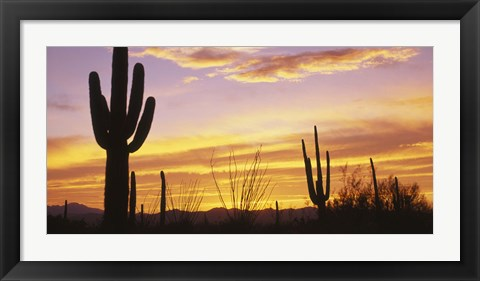 Framed Sunset Saguaro Cactus Saguaro National Park AZ Print
