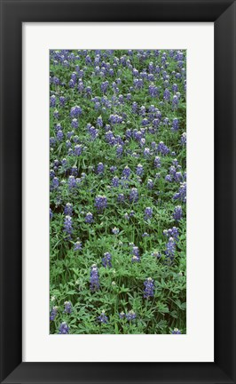 Framed High angle view of plants, Bluebonnets, Austin, Texas, USA Print