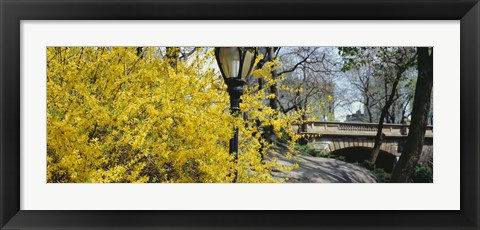 Framed Forsythia in bloom, Central Park, Manhattan, New York City, New York State, USA Print