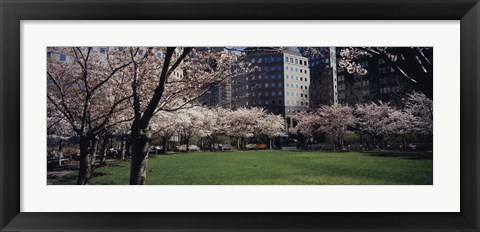 Framed White flowering trees in a park, Central Park, Manhattan, New York City, New York State, USA Print