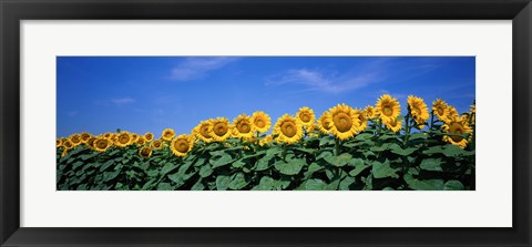 Framed Field Of Sunflowers, Bogue, Kansas, USA Print