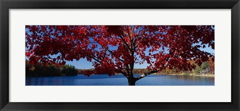 Framed Close-up of a tree, Walden Pond, Concord, Massachusetts, USA Print