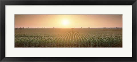 Framed View Of The Corn Field During Sunrise, Sacramento County, California, USA Print