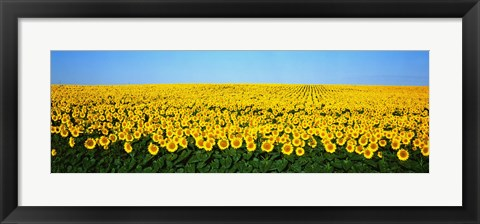 Framed Sunflower Field, North Dakota, USA Print