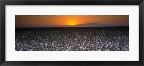 Framed Cotton crops in a field, San Joaquin Valley, California, USA Print