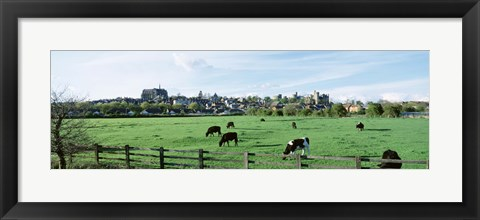 Framed Cows grazing in a field with a city in the background, Arundel, Sussex, West Sussex, England Print