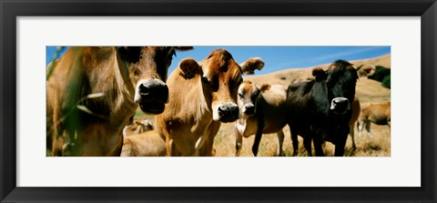 Framed Close Up Of Cows, California, USA Print