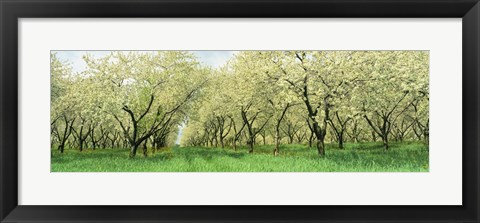 Framed Rows Of Cherry Tress In An Orchard, Minnesota, USA Print