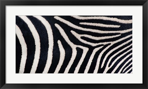 Framed Close-up of Greveys zebra stripes Print