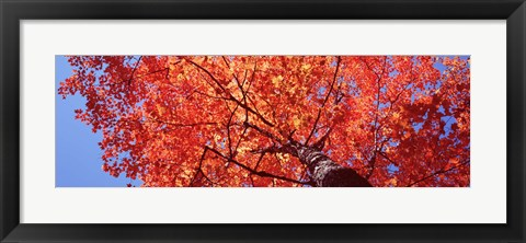 Framed Low Angle View Of A Maple Tree, Acadia National Park, Mount Desert Island, Maine, USA Print