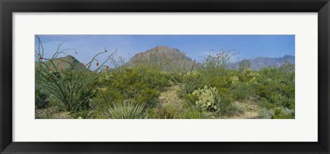 Framed Ocotillo Plants In A Park, Big Bend National Park, Texas, USA Print