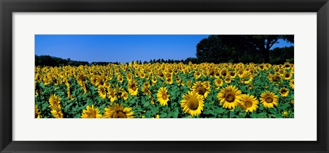 Framed Sunflowers In A Field, Provence, France Print